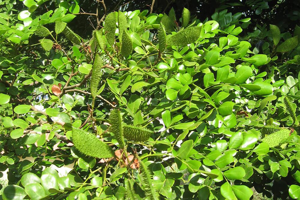 pernambouc-arbre